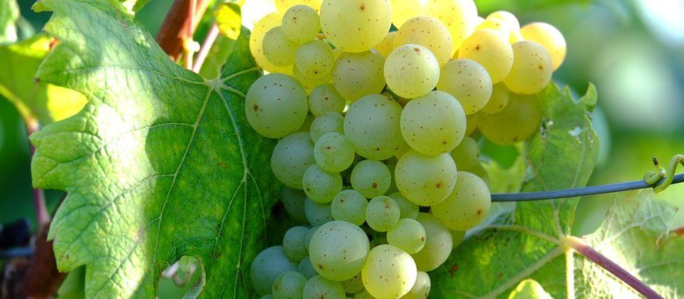 GPBrands-White-Wine-Grapes